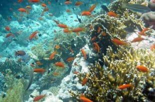 Barriera Corallina al Baron di Sharm